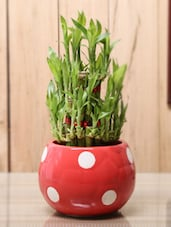 Bamboo Plant With Red Ceramic Pot - By