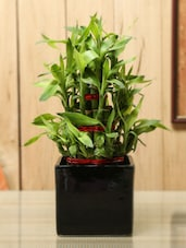 Bamboo Plant With Black Cube Ceramic Planter - By