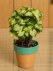 Syngonium Chilli Indoor Plant - By