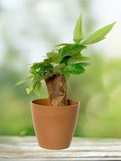 Straight Money Tree Indoor Plant - By